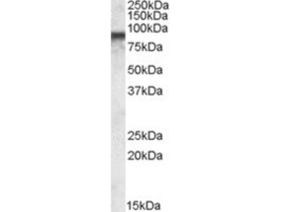 Goat Anti-COG7 Antibody