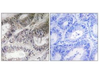 Rabbit polyclonal anti-COX19 antibody