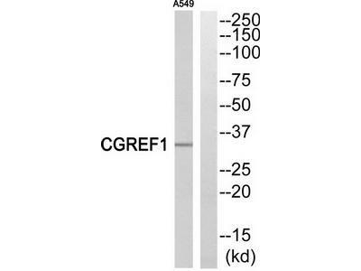 Rabbit polyclonal anti-CGREF1 antibody