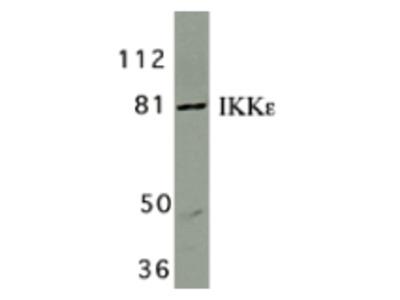 Rabbit Polyclonal IKK epsilon Antibody