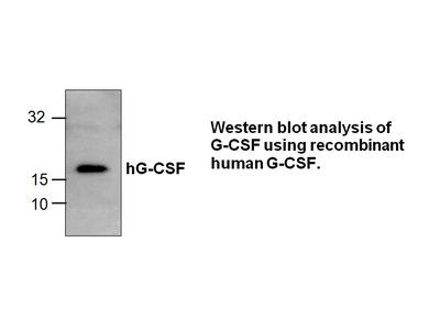 G-CSF Antibody