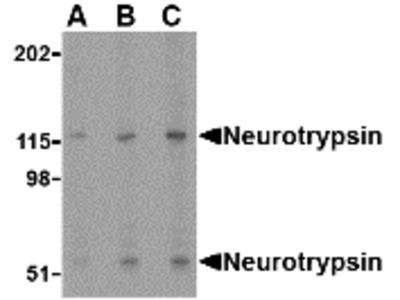 Rabbit Polyclonal Neurotrypsin Antibody