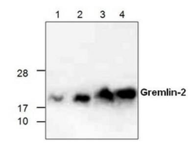 Rabbit polyclonal anti-Gremlin-2 antibody