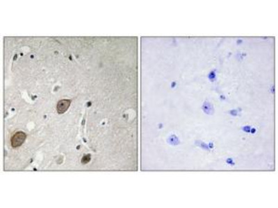 Rabbit polyclonal anti-BEGIN antibody