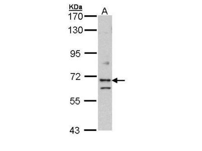 Rabbit polyclonal antibody to EXOC7 (exocyst complex component 7)