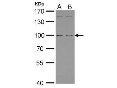 Rabbit polyclonal antibody to GPRC6A (G protein-coupled receptor, family C, group 6, member A)