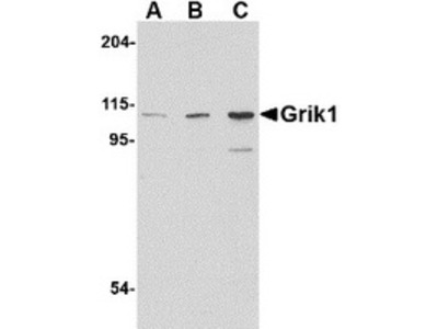 Rabbit Polyclonal Grik1 Antibody
