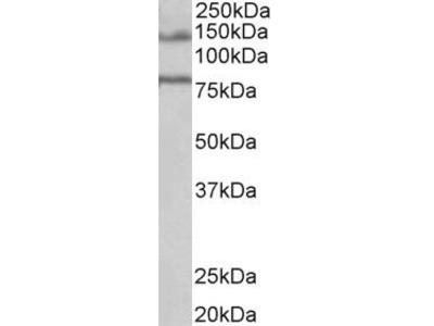 Goat Anti-EBPL41L5 Antibody