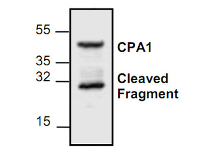 Carboxypeptidase A1 (CPA1) Antibody