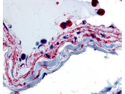 PLIP / PTPMT1 Rabbit Polyclonal (Internal) Antibody