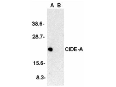 Rabbit Polyclonal CIDE-A Antibody