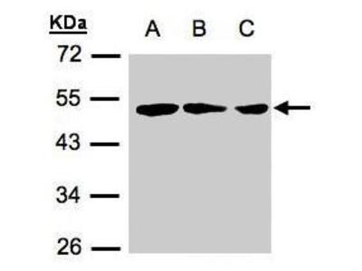Rabbit polyclonal antibody to BLU (zinc finger, MYND-type containing 10)