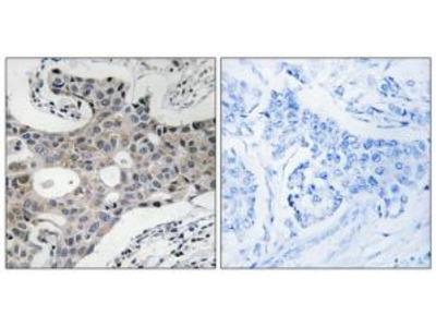 Rabbit polyclonal anti-SEC16A antibody