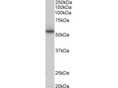 Goat Anti-Nprl3 (mouse) Antibody