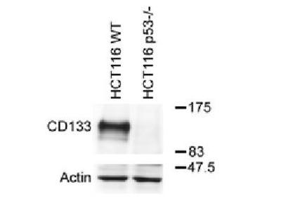 Mouse anti-PROM1 (CD133) monoclonal antibody