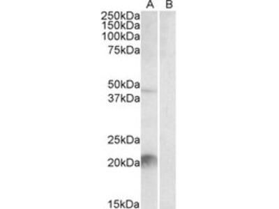 Goat Anti-Klk6 / neurosin (mouse) Antibody