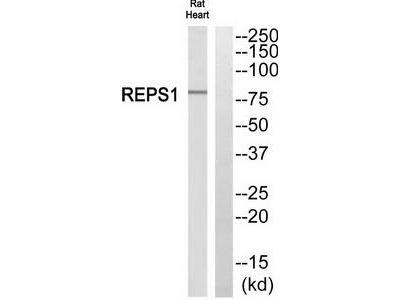 Rabbit polyclonal anti-REPS1 antibody