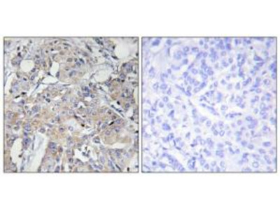 Rabbit polyclonal Collagen VI a3 antibody