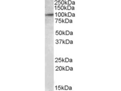 Goat Anti-E2F7 Antibody