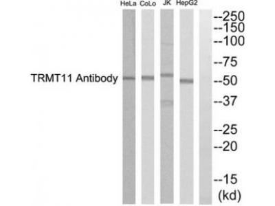 Rabbit polyclonal anti-TRMT11 antibody