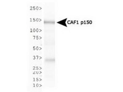 Mouse Monoclonal CHAF1A Antibody (SS 1 1-13)