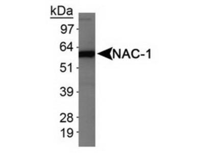 Mouse Monoclonal Nac1 Antibody (3)