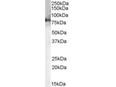 Goat Anti-Chat (mouse) Antibody