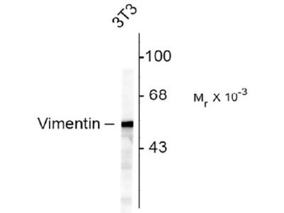 Chicken Anti-Vimentin Antibody