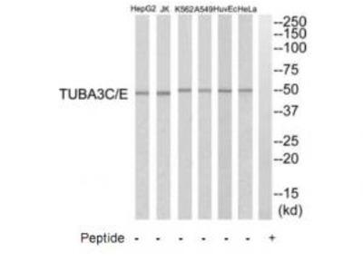 Rabbit polyclonal anti-TUBA3C/E antibody