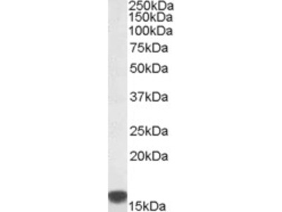 Goat Anti-S100A9 Antibody