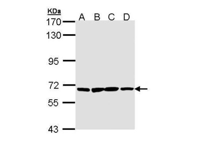 Rabbit Polyclonal antibody to PAN3 (PAN3 poly(A) specific ribonuclease subunit homolog (S. cerevisiae))