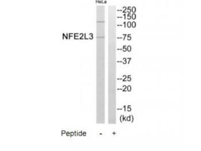 Rabbit polyclonal anti-NFE2L3 antibody