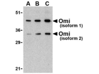 Rabbit Polyclonal OMI Antibody