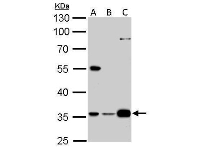 Rabbit Polyclonal antibody to GAS2L1 (growth arrest-specific 2 like 1)