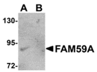 Rabbit Polyclonal FAM59A Antibody
