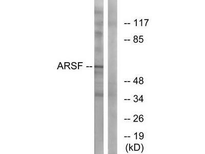 Rabbit polyclonal anti-ARSF antibody