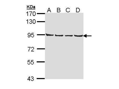 Rabbit Polyclonal antibody to LETM1 (leucine zipper-EF-hand containing transmembrane protein 1)