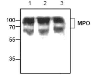 Rabbit polyclonal anti-Myeloperoxidase (MPO) antibody
