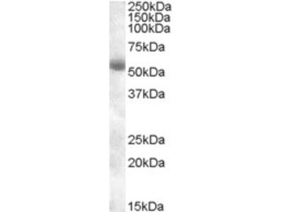 Goat Anti-TMPRSS2 Antibody