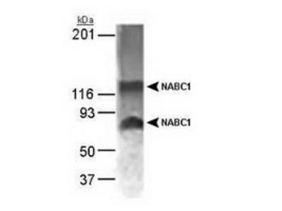 Rabbit Polyclonal BCAS1 Antibody
