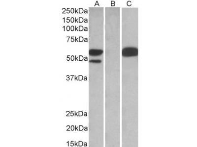 Goat Anti-TRIM21 (SSA1) Antibody