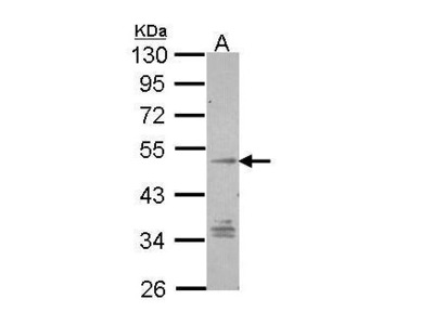 Rabbit Polyclonal antibody to TM7SF1/GPR137B (G protein-coupled receptor 137B)