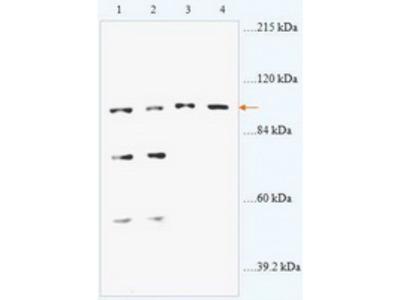 Rabbit anti-ABR polyclonal antibody