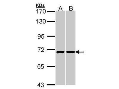 Rabbit Polyclonal antibody to RIC8A (resistance to inhibitors of cholinesterase 8 homolog A (C. elegans))
