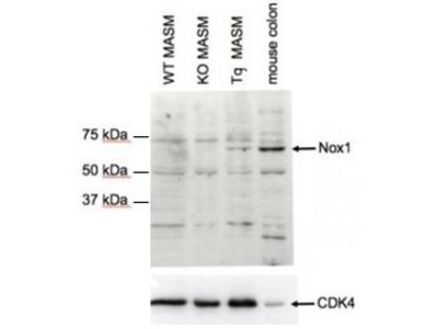 Goat Anti-NOX1 Antibody