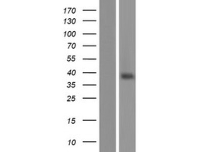 Transient overexpression lysate of olfactory receptor, family 13, subfamily C, member 8 (OR13C8)