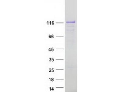 AFAP1L1 (NM_152406) Human Mass Spec Standard