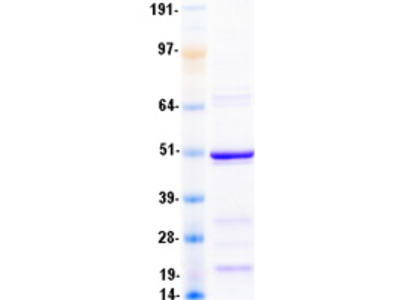 alpha Sarcoglycan (SGCA) (NM_000023) Human Mass Spec Standard