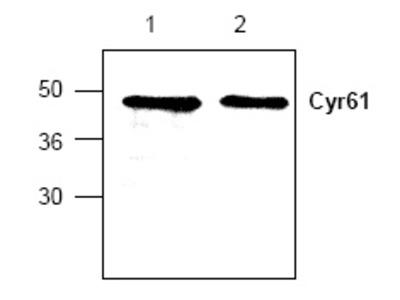anti CYR61