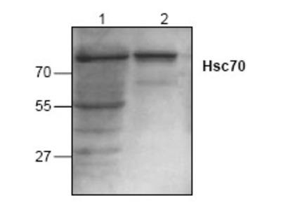 anti HSPA8 / HSC70